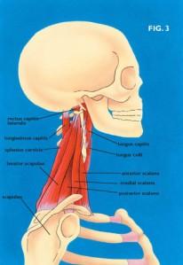 neckmuscles